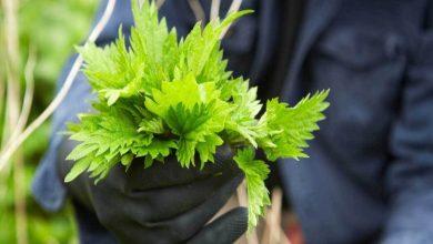 نبات القراص اللاذع